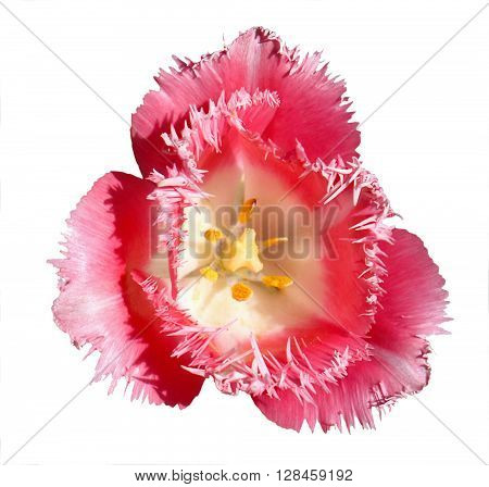 Surreal Contrast Exotic Pink And White Tulip Flower Macro Isolated On White