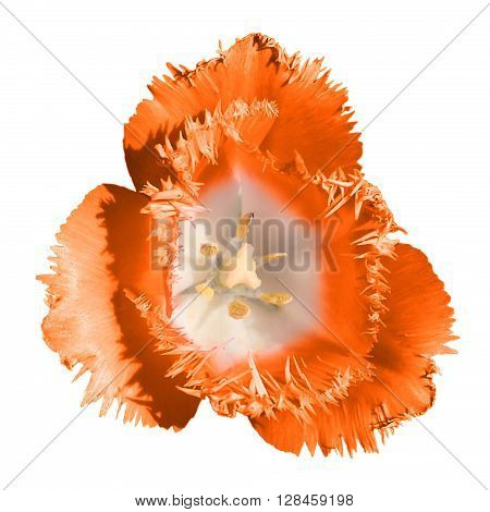 Exotic Orange Tender Tulip Flower Macro Isolated On White