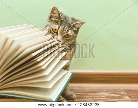 The British Grey Cat is Smelling Open Book,Funny Pet on the Wood Floor,Toned