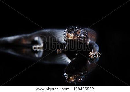Black blue tongued lizard in dark shiny mirror environement