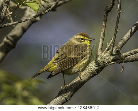 A beautiful migrant Palm Warbler perches on a branch in the sunlight in a Wisconsin spring forest.