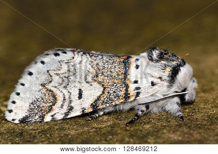 Sallow kitten moth (Furcula furcula) in profile. British nocturnal insect in the family Notodontidae at rest poster