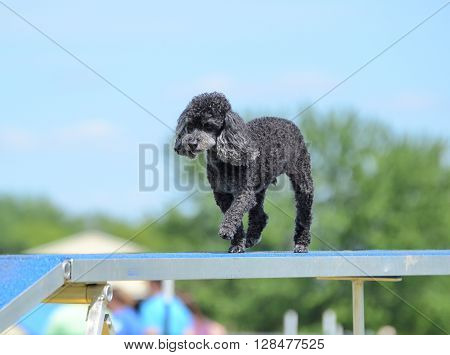 LAKE ELMO, MN - JUNE 8 2016: Toy Poodle Running on a Dog Walk at an Agility Trial