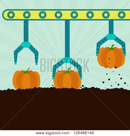 Mechanical Harvesting Pumpkins