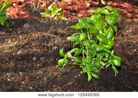 Fresh basil in the garden.