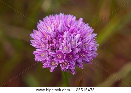 Allium Flower  Blooming