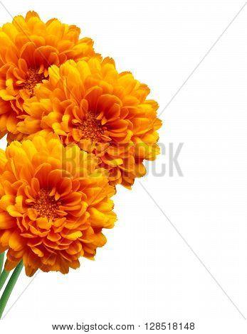 Orange chrysanthemum Autumn flower isolated on white background