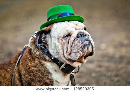 English bulldog wearing St Patrick's Day hat on dark background