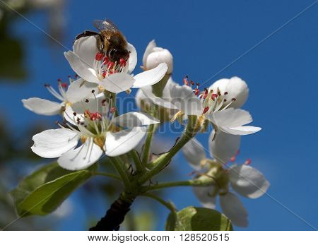 Bee gathering nectar sitting on flower of the pear against the blue sky.