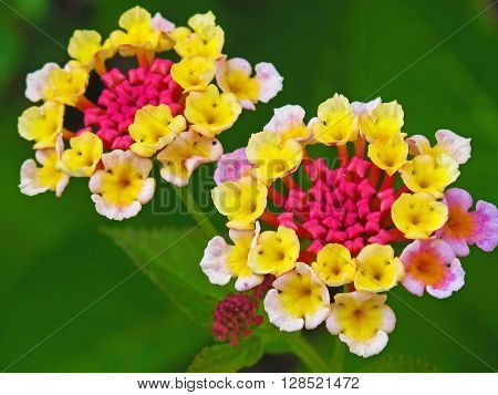The beautiful lantana which blooms in early summer.