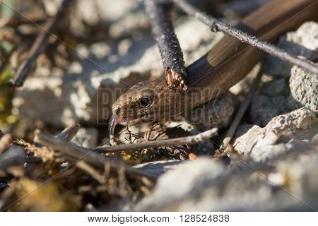 Slow worm (Anguis fragilis) amongst undergrowth with tongue sticking out. A legless lizard with sensing its environment with its forked tongue in the family Anguidae