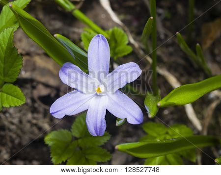 Lucile's glory-of-the-snow chionodoxa luciliae blooming in spring macro selective focus shallow DOF poster