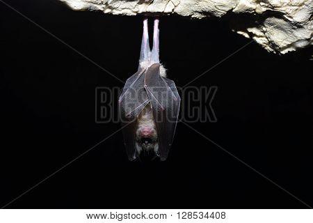 Greater horseshoe bat ( Rhinolophus ferrumequinum). nature