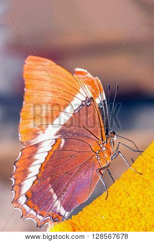 Adelpha Cytherea Linnaeus Butterfly Amazonian Rainforest South America