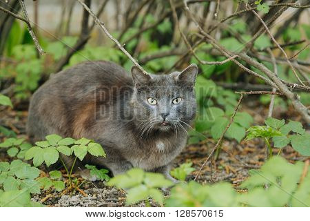 Domestic grey cat sitting on the grass and looking at the camera, copy space