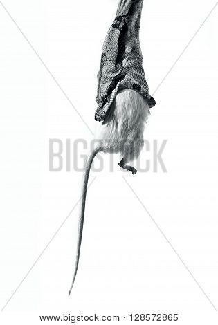 snake garrotter boa constrictor eting white mouse