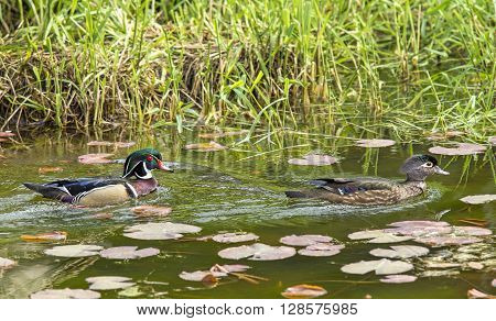 Male and female wood ducks in a wetland area of Fernan Lake Idaho.