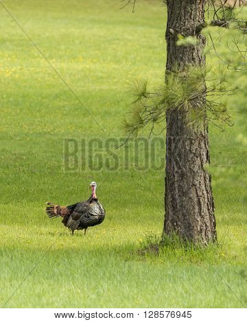 Sideview of a big turkey near Fernan Idaho.