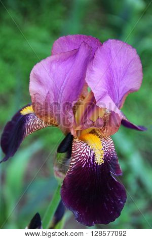 one big violet  iris on the garden. photo