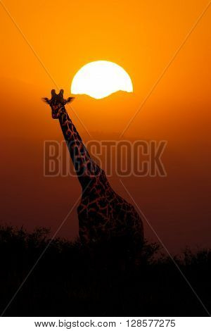 Giraffe in savanna at African Sunset Background