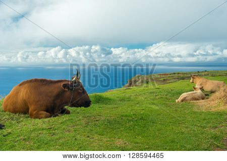 Madeira cows having a rest on a top of a hill lying on a grass right beside a precipice ** Note: Soft Focus at 100%, best at smaller sizes