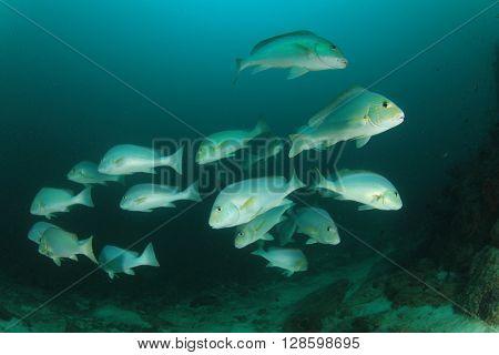 Sweetlips fish in ocean