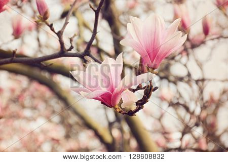 Blossoming of pink magnolia flowers in spring time.
