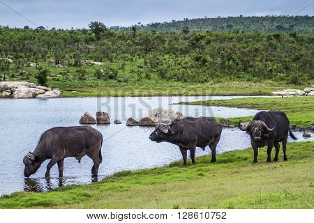 Specie Syncerus caffer family of bovidae, three african buffalos in the river in Kruger park, South Africa