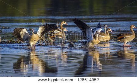 Specie Alopochen aegyptiaca family of anatidae, egyptian gooses in a pond in Kruger Park