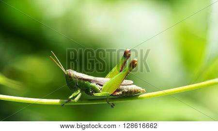 Grasshopper on a green leaf. macro, Thailand