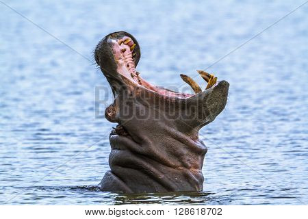 Specie Hippopotamus amphibius family of Hippopotamidae, wild hippo yawning in the river in Kruger Park
