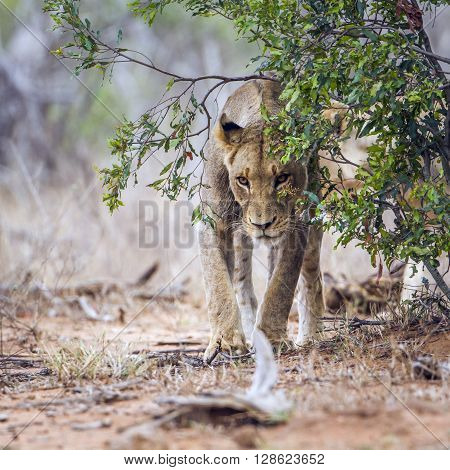 Specie Panthera leo family of felidae, family of lions in Kruger Park, mother and babies in the riverbank