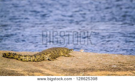 Specie Crocodylus niloticus family of Crocodylidae, Nile crocodile in a pond in Kruger park ** Note: Visible grain at 100%, best at smaller sizes