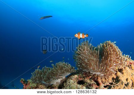 Anemone, coral reef and blue sea with clownfish