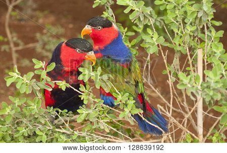 Pair Of Solomon Island Parrots Eclectus Roratus Solomonensis