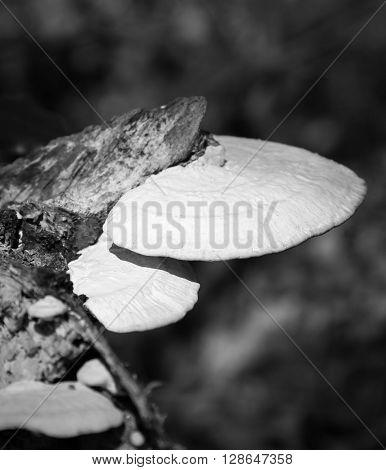 white mushroom in nature balck and white