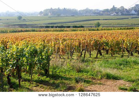 Pinot noir vineyard early in the morning on autumn tme Cote-d'Or Burgundy France europe