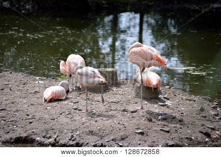 flamingos in fota wildlife park near cobh county cork ireland