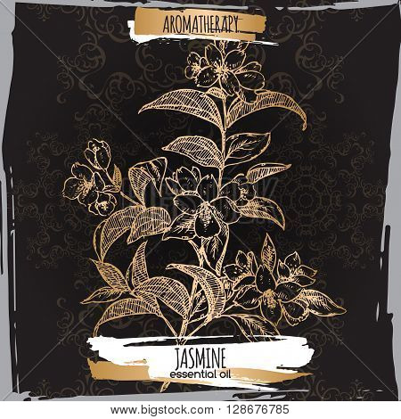 Jasminum officinale aka common jasmine sketch on elegant black lace background. Aromatherapy series. Great for traditional medicine, perfume design, cooking or gardening.