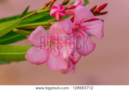 Oleander flowers ( Nerium oleander Apocynaceae )The blossoming branch of a pink
