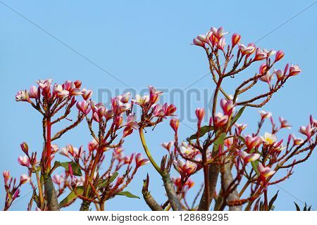 Frangipani Plumaria flower with blue sky background