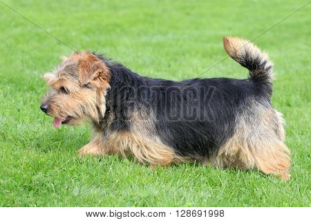 Typical Norfolk Terrier in the spring garden