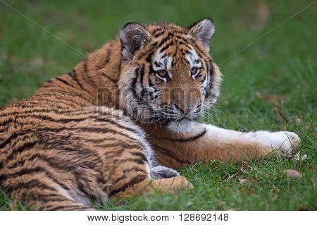 Siberian Tiger Cub (Panthera Tigris Altaica) resting in long green grass