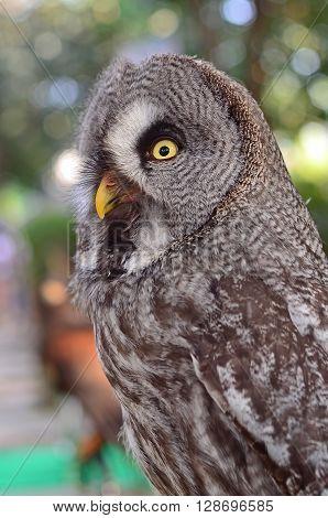 Great Grey Owl Strix nebulosa Bird Close-up