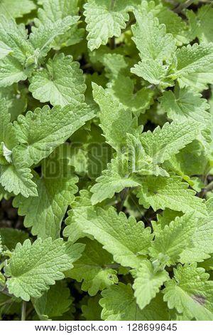 Fresh Green Background With Melissa Plant, Lemon Balm, Melissa Officinalis
