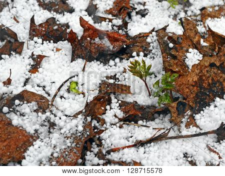 Unstable weather in early spring. The hail with the snow has dropped out on the young small blades which have sprouted through last year's dry rotten leaves.