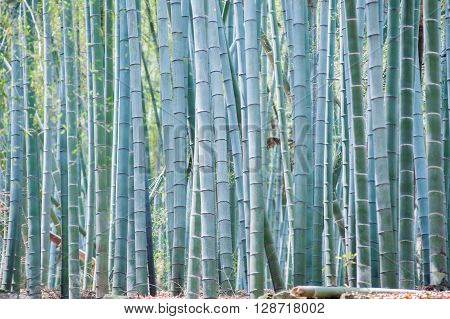 Blue Bamboo Trunks In The Forest