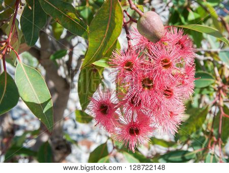 Red flowering gum eucalyptus plant with bright flowers, nuts and green leaves.