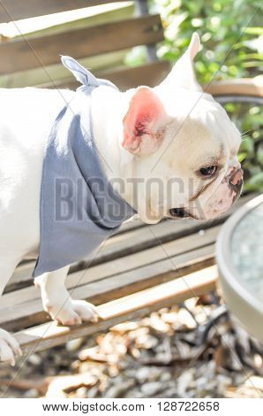 absent - minded French bulldog on the bench