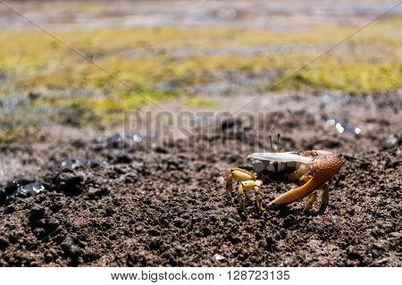 Orange fiddler crab on a muddy beach